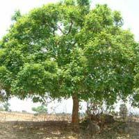 Soapnut Tree - 058
