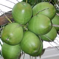 Fresh Tender Coconuts