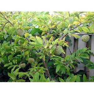Sitafal Plant