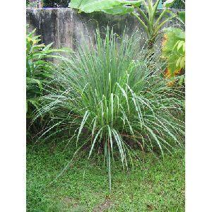 Lemongrass Plants