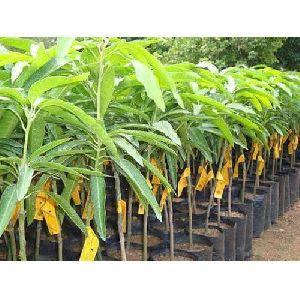 Mango (aam) Plant