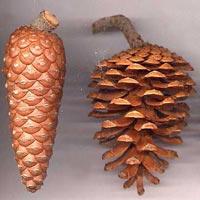Aleppo Pine Seed Oil