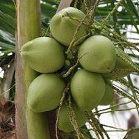 young coconut