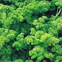 Parsley Culinary Herbs