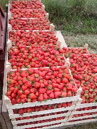 Fresh Strawberries 02