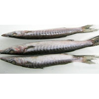 Frozen Barracuda Whole Fish