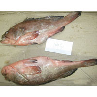 Frozen Reef Cod Whole Fish