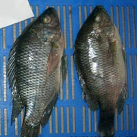 Frozen Tilapia Whole Round Fish