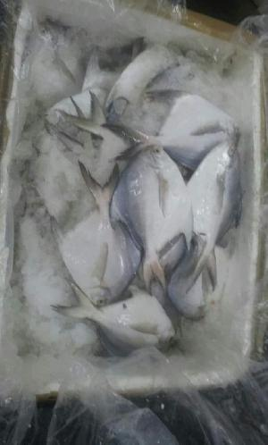 Fresh Chilled Fish 03