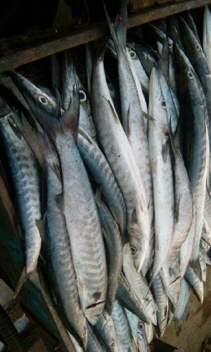 Fresh Chilled Fish 24