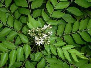 Fresh Curry Leaves 07