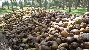 Semi Husked Coconut 13
