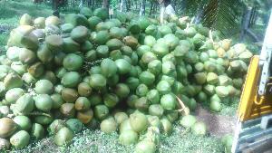 Tender Coconut 03
