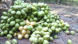 Tender Coconut 04