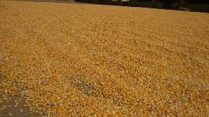 Yellow Maize Seeds 05