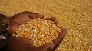 Yellow Maize Seeds 07