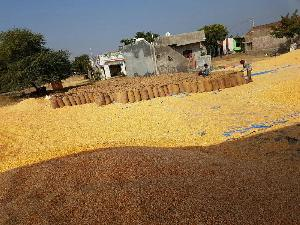 Yellow Maize Seeds 12