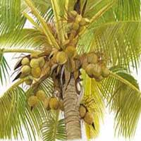 Coconut Plant