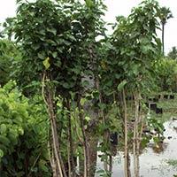 Avenue Plants