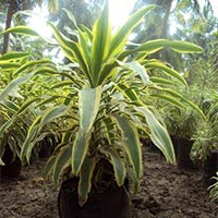 Dracena Victoria Plants