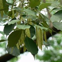 Dalbergia Sissoo Plant