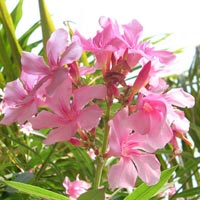 Kaner Plant