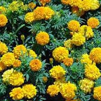 Marigold Flower Plants