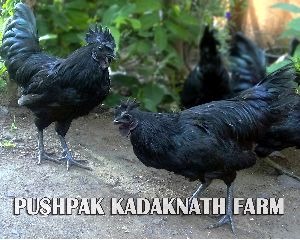 Kadaknath Black Meat Chicken