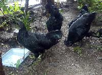 Kadaknath Chicken Meat 07