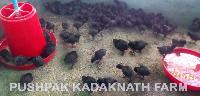 Kadaknath Chicken Meat 08