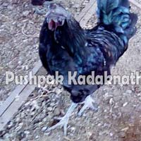 Kadaknath Chicken Meat
