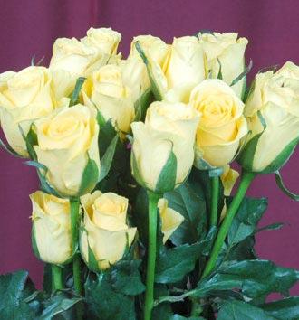 Fresh White Rose Flower
