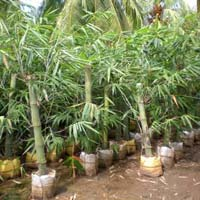 Green Bamboo Plants
