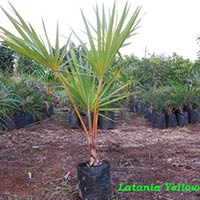 Latania Yellow Palm Plant