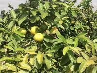 Fresh Guava 02