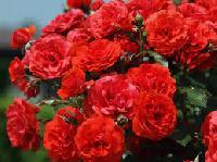 Fresh Button Rose Flowers