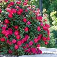 Fresh Rose Flowers 02