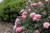 Fresh Rose Flowers 03