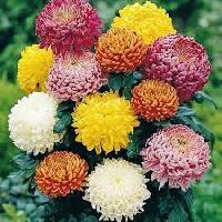 Fresh Sevanti Flowers 01