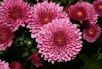 Fresh Sevanti Flowers 02