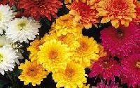 Fresh Sevanti Flowers 03