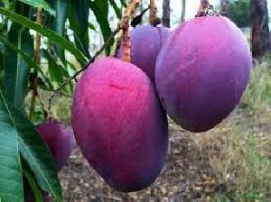 Purple Mango