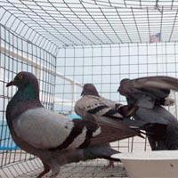 Pigeons Control Services