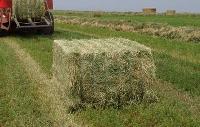 Premium Quality Alfalfa Lucerne Hay Bales Grade A For Sale