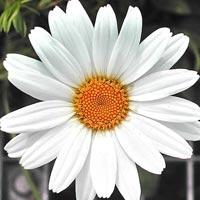 White Gerbera Flowers