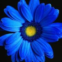 Blue Gerbera Flowers