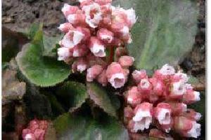 Bergenia Ligulata (Pashanbedha)