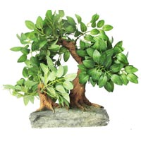 Two in One Bonsai Tree