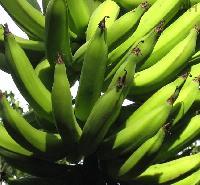 Fresh Banana (AH-110012)