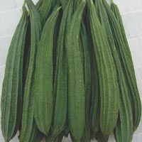 Ridge Gourd Seeds (Mantra - 522)